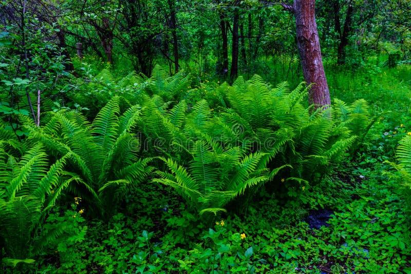 绿色蕨植物在春天的森林里 免版税库存照片