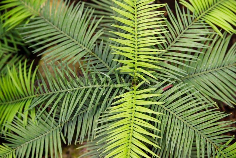 绿色蕨瓣宏观照片  植物蕨开了花 在绿色植物背景的蕨  免版税库存图片