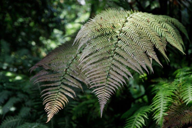 绿色蕨瓣宏观照片  植物蕨开了花 在绿色植物背景的蕨  免版税库存照片