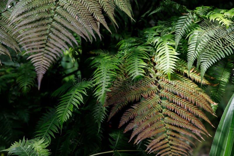 绿色蕨瓣宏观照片  植物蕨开了花 在绿色植物背景的蕨  免版税图库摄影