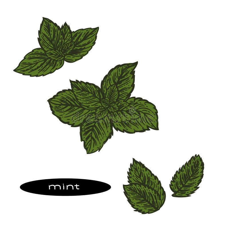 绿色薄荷叶的手拉的例证 皇族释放例证