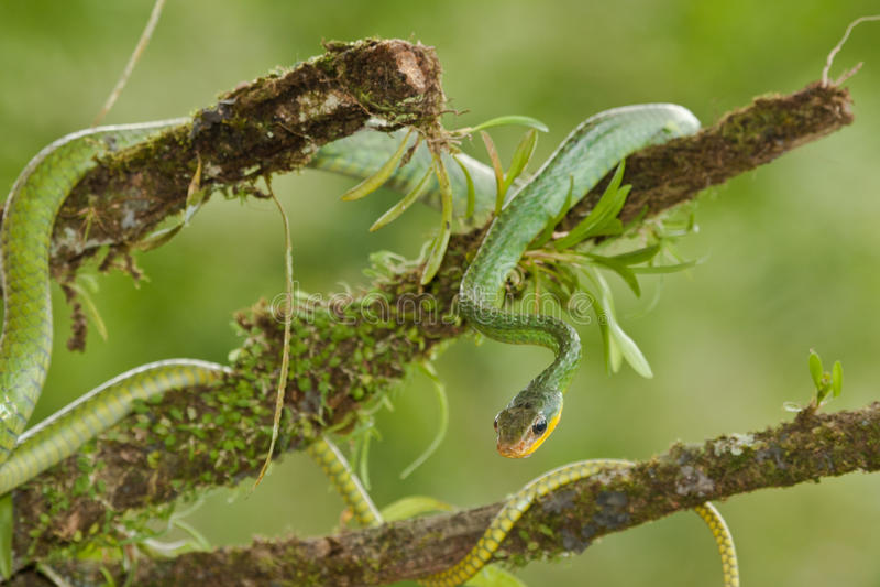 绿色藤蛇 免版税库存图片