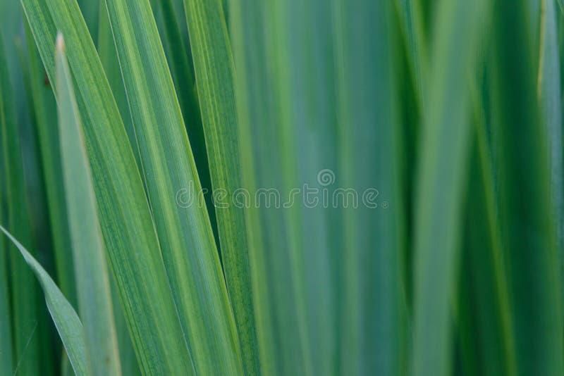 绿色虹膜叶子背景  抽象自然纹理和背景有机样式宏观看法  免版税图库摄影