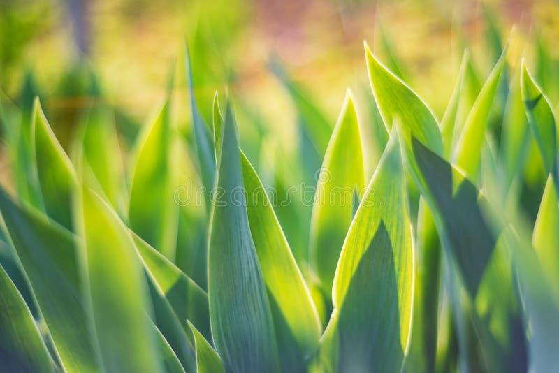 绿色虹膜在抽象春天背景的庭院离开 免版税库存照片