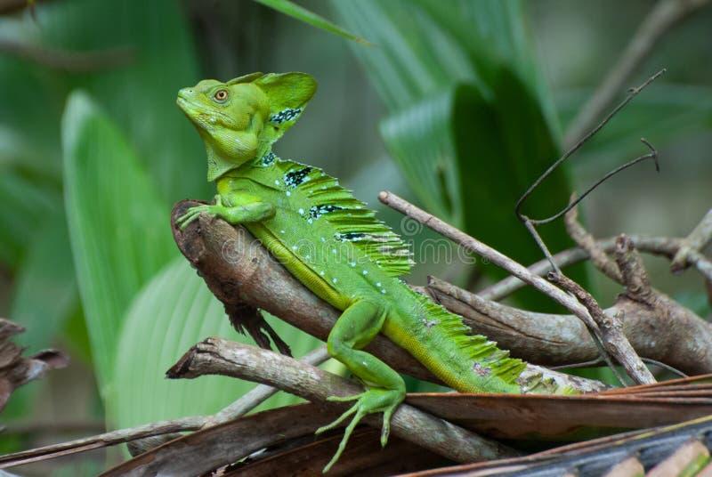 绿色蛇怪蛇怪plumifrons或者耶稣基督蜥蜴o 免版税库存图片