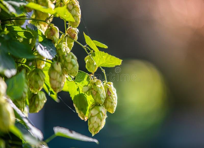 绿色蛇麻草在庭院早晨点燃与美好的bok 免版税库存图片