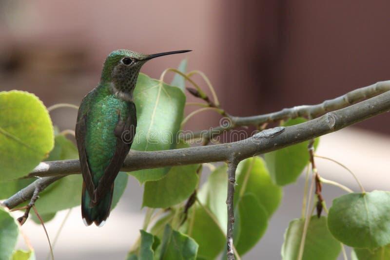 绿色蜂鸟 库存图片