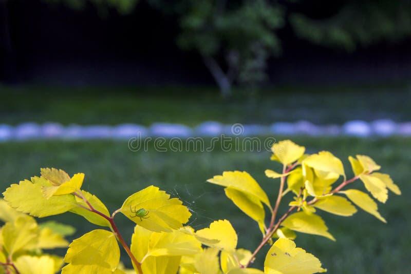 绿色蜘蛛编织在轻的绿色-黄色叶子,被弄脏的自然本底上的一个网 与夏季的摘要b的美好的自然场面 免版税图库摄影