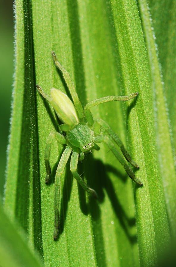 绿色蜘蛛 库存图片