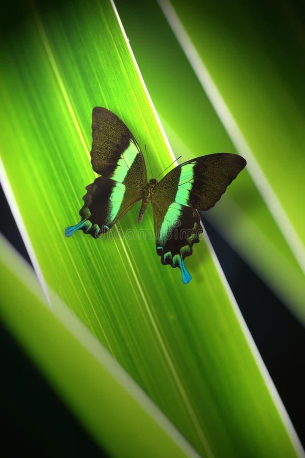 绿色蝴蝶 免版税库存图片