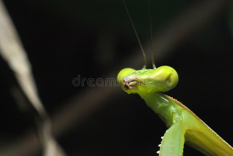 绿色螳螂的接近的面孔 库存照片
