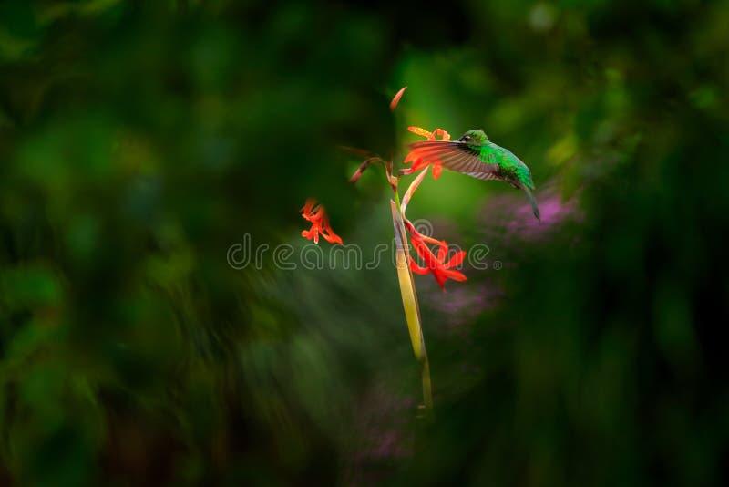 绿色被加冠的精采, Heliodoxa jacula,与美丽的红色花 吮花蜜的鸟 从自然,哥斯达黎加的野生生物场面 库存照片
