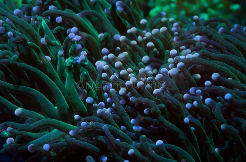 绿色触手火炬珊瑚 免版税图库摄影