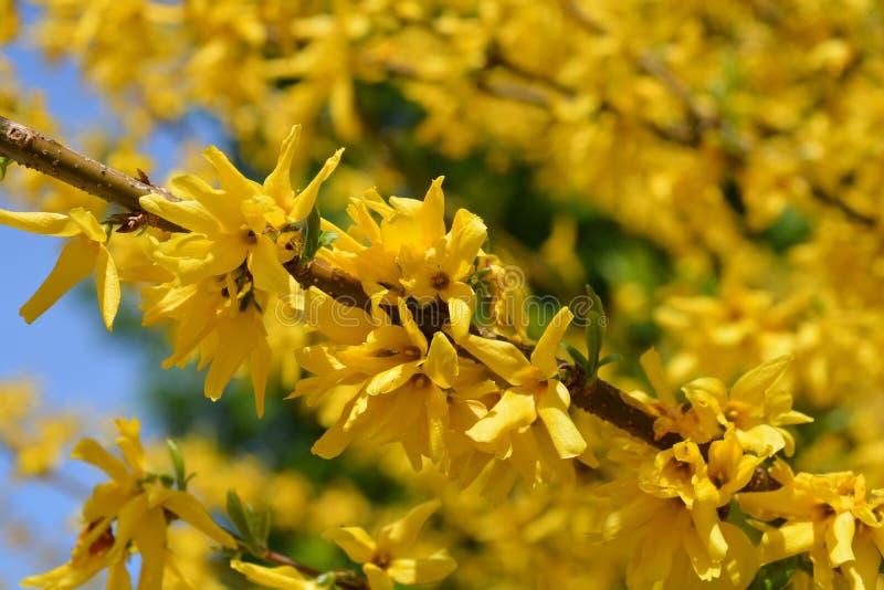 绿色词根连翘属植物 免版税图库摄影