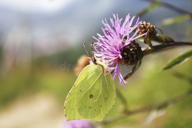 绿色象叶子的蝴蝶 免版税库存照片
