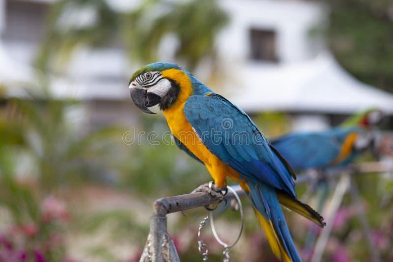 绿色金刚鹦鹉鹦鹉羽毛猩红色金刚鹦鹉,ZooThailand intropical森林,从热带自然的野生生物 免版税图库摄影
