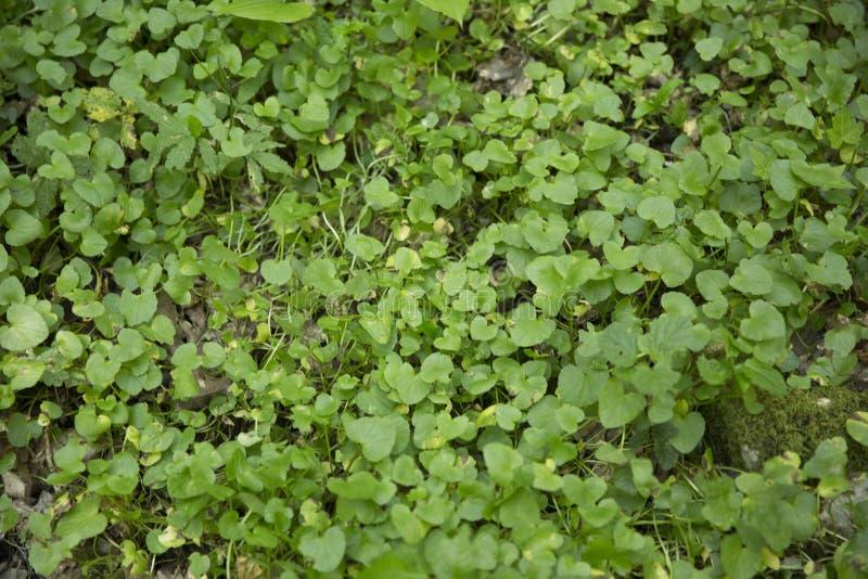 绿色金莲花叶子在草甸 免版税库存图片
