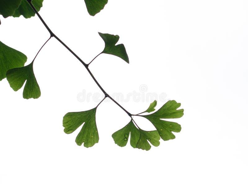 绿色银杏树叶子,有雨的叶子 免版税库存图片