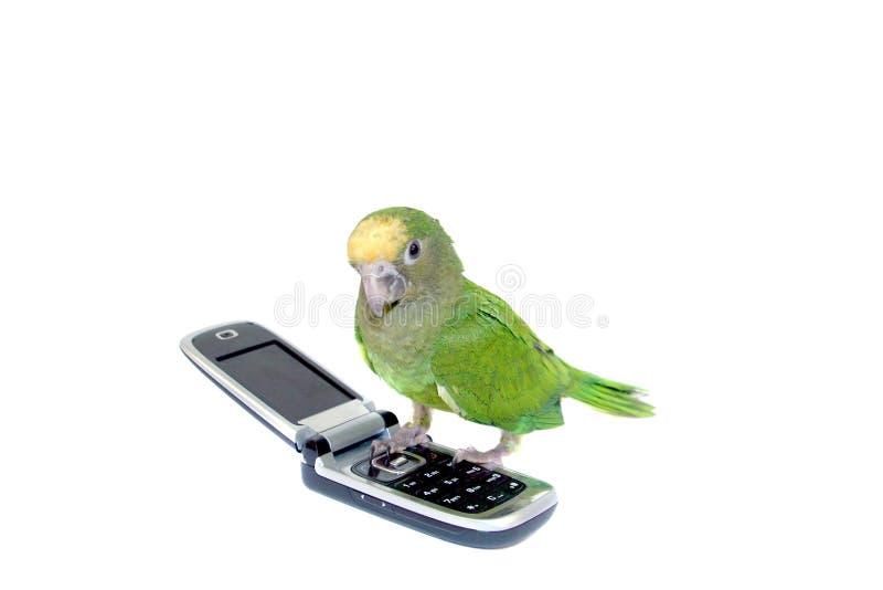 绿色长尾小鹦鹉 免版税库存照片