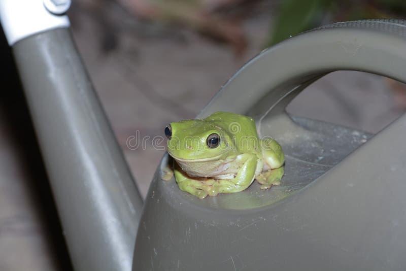 绿色雨蛙发现一个凉快的潮湿位子 免版税图库摄影