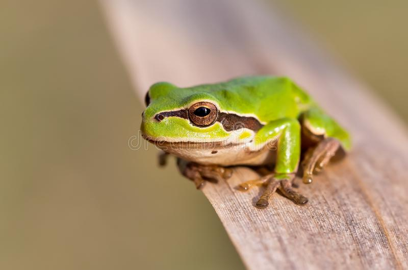 绿色雨蛙Hortobagy,匈牙利 免版税库存照片