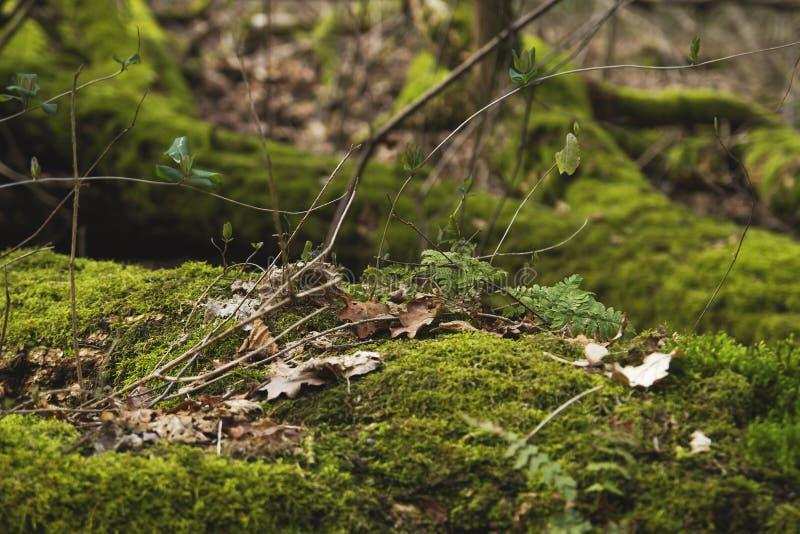 绿色青苔在一个湿森林地 库存图片