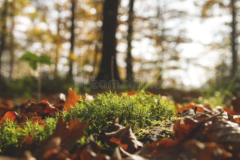 绿色青苔细节在秋季森林的 库存图片