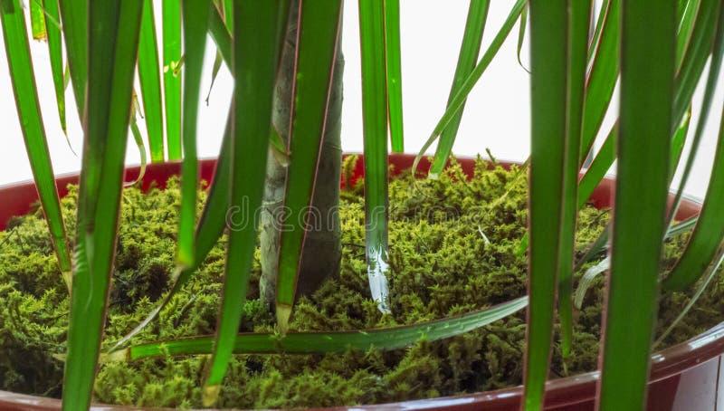 绿色青苔被盖的花盆 免版税库存图片