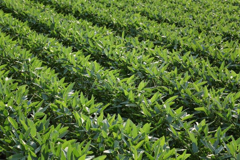 绿色领域的栽培大豆植物 库存图片