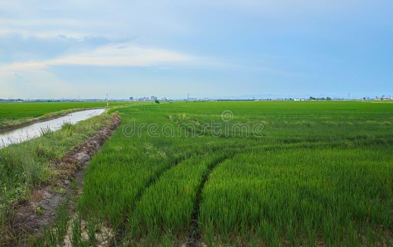 绿色领域耕种了与粮食作物 在巴伦西亚Albufera的7月  库存照片