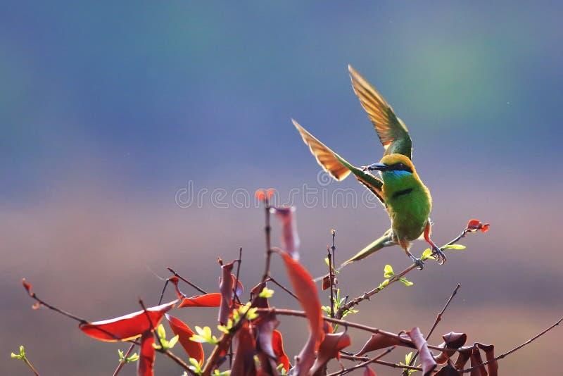 绿色食蜂鸟离开 免版税库存图片