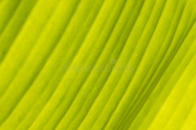 绿色香蕉为背景离开 库存照片