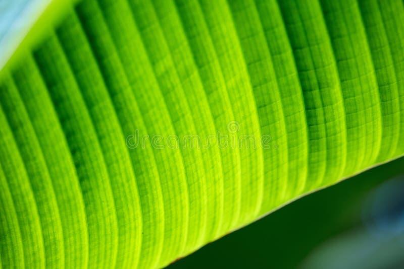 绿色香蕉叶子背景摘要关闭 免版税库存照片