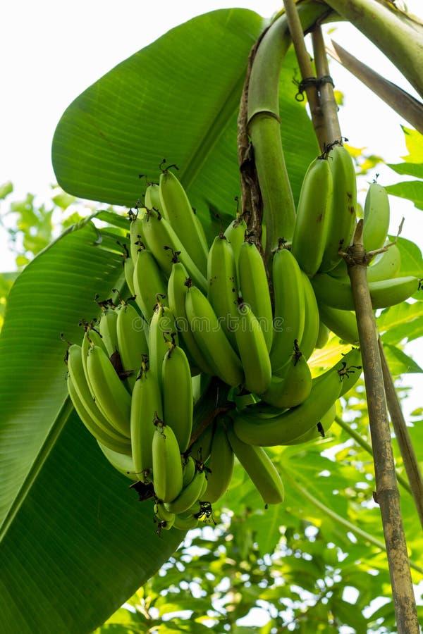 绿色香蕉树小组 束绿色香蕉在庭院里 ba 免版税库存图片