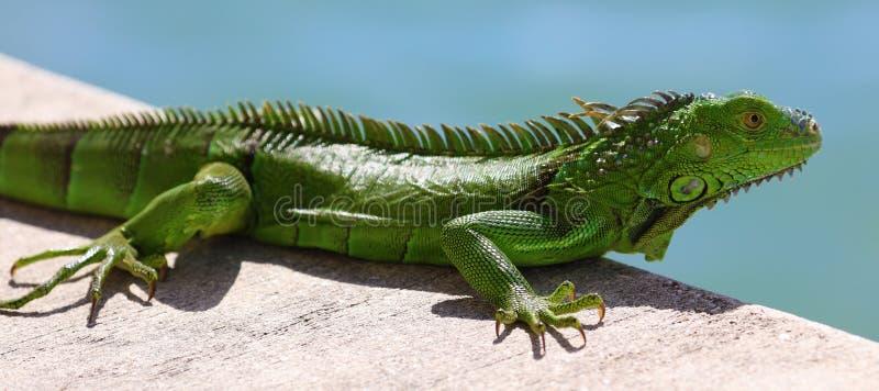 绿色鬣鳞蜥公美丽的多色动物,五颜六色的爬行动物在南佛罗里达 图库摄影