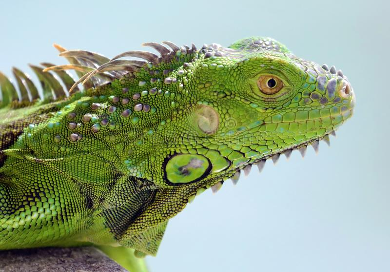 绿色鬣鳞蜥公美丽的多色动物,五颜六色的爬行动物在南佛罗里达 库存照片