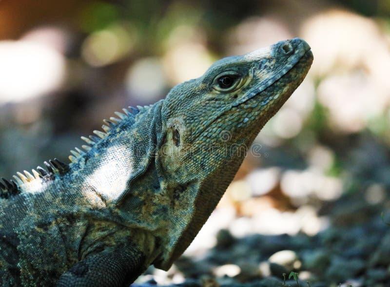 绿色鬣鳞蜥公美丽的多色动物,五颜六色的爬行动物在南佛罗里达 免版税库存照片