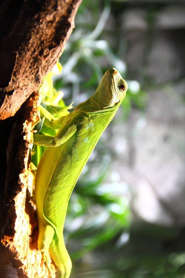 绿色鬣鳞蜥在峭壁爬上 免版税库存图片
