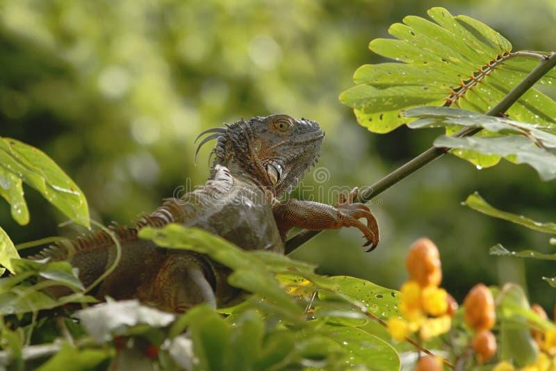 绿色鬣鳞蜥坐在雨林的一个分支,哥斯达黎加,蜥蜴的顶头特写镜头视图 小野生动物看起来龙 免版税图库摄影