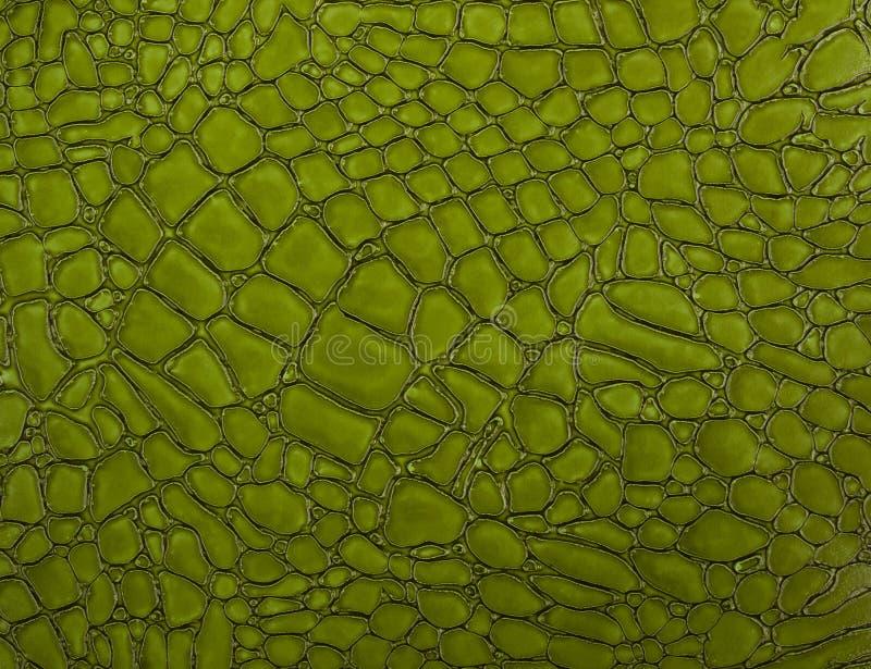 绿色鳄鱼皮肤纹理特写镜头 库存图片