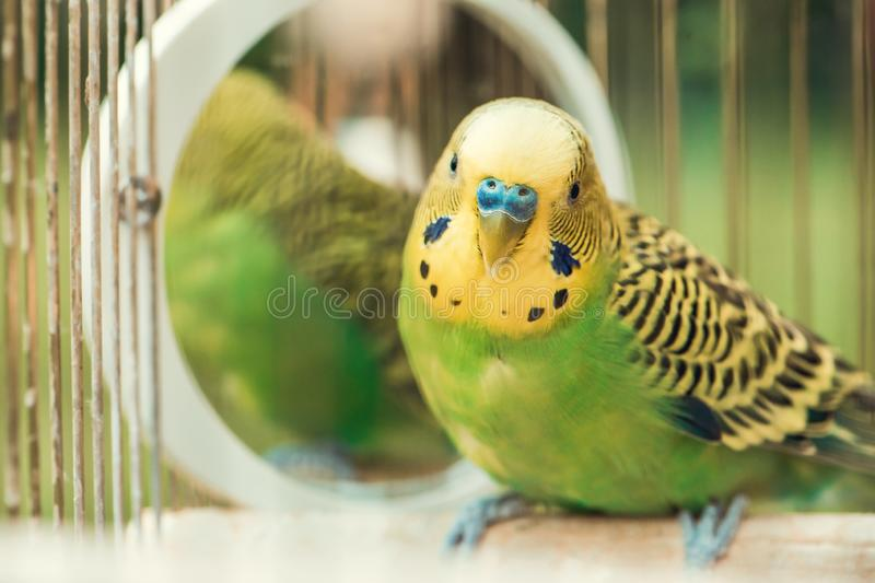 绿色鹦哥鹦鹉关闭在笼子坐直 逗人喜爱的绿色budgie 库存照片