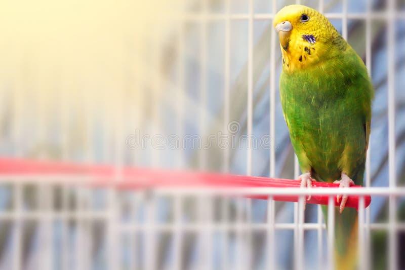 绿色鹦哥鹦鹉关闭坐笼子 逗人喜爱的绿色budgie 文本的空间 免版税库存照片