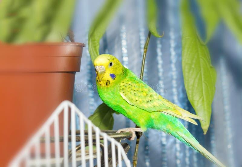 绿色鹦哥鹦鹉关闭坐笼子 逗人喜爱的绿色budgie 库存图片