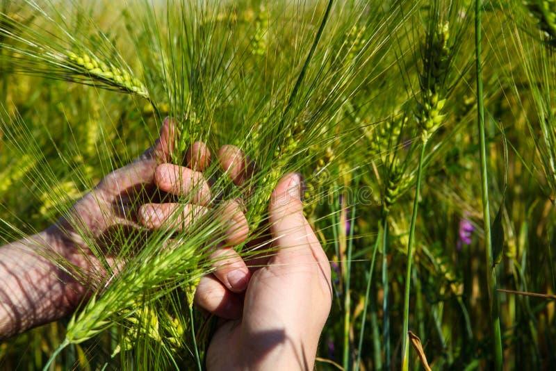 绿色麦子在手上在领域的夏天 免版税库存图片