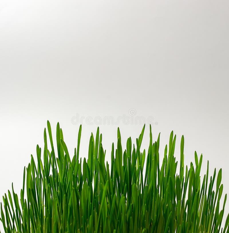 绿色麦子新芽,健身饮食,健康饮食,自然,关闭 库存图片