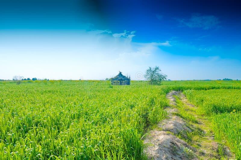 绿色麦子耳朵在农场 免版税图库摄影