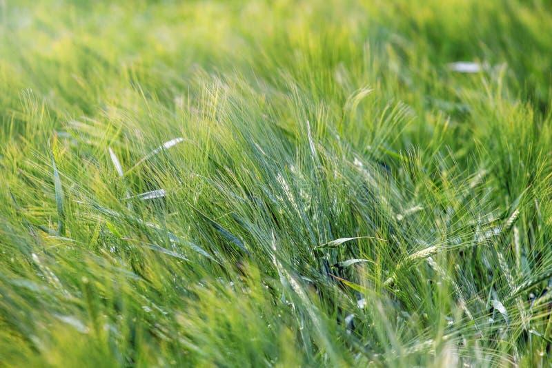 绿色麦田农业背景 库存照片