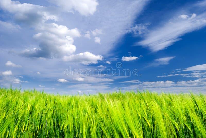 绿色麦田和天空蔚蓝与暴风云 图库摄影
