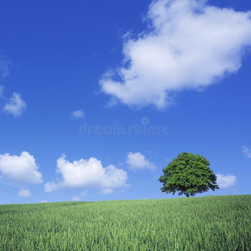 绿色麦田和孤立结构树 免版税库存照片