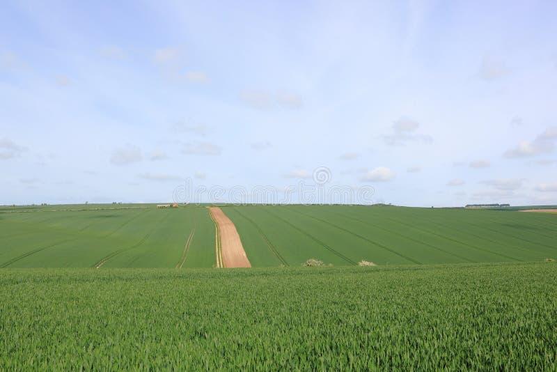 绿色麦田样式和纹理在春天风景的 免版税库存照片